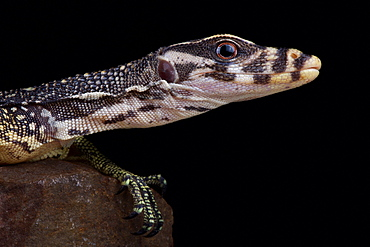 Large-scaled water monitor (Varanus nuchalis)