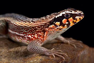 Hispaniolan masked curly-tailed lizard (Leiocephalus personatus)
