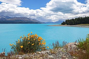 Lake Pukaki, flowers on the shore, South Island, New Zealand