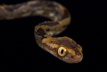 Kelung Cat Snake (Boiga kraepelini)