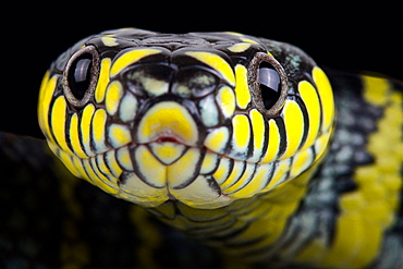 Luzon mangrove snake (Boiga dendrophila divergens)
