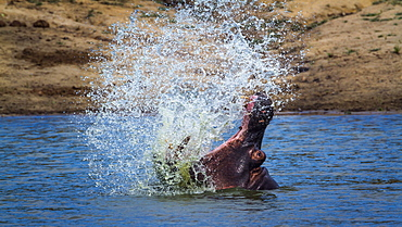 Hippopotamus (Hippopotamus amphibius) splashing with open mouth in Kruger National park, South Africa