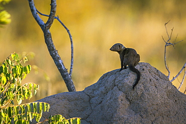 Common dwarf mongoose (Helogale parvula) on termite mound in Kruger National park, South Africa