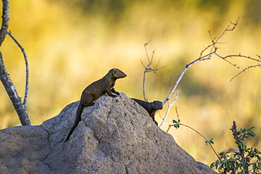 Two Common dwarf mongoose (Helogale parvula) on termite mound in Kruger National park, South Africa
