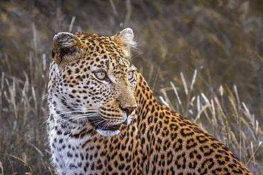 Leopard (Panthera pardus) portrait in Kruger National park, South Africa