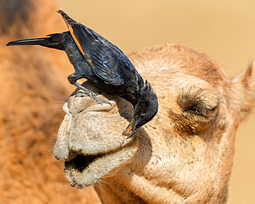 Tristram's Starling (Onychognathus tristramii), adult male looking for insects on the head of a Dromedary Camel, Dhofar, Oman