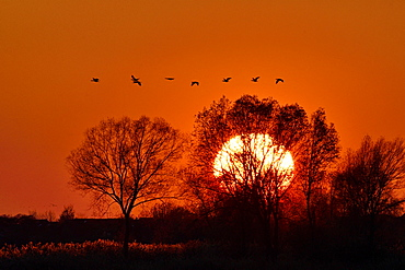 Flight of Cranes (Grus grus) sunset at Lake Der, Haute Marne, Montier en Der, Haute-Marne, France