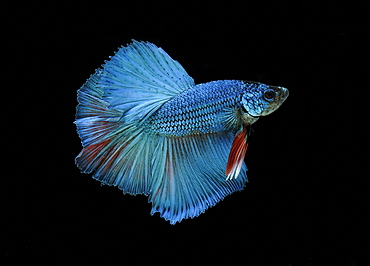 Siamese fighting fish (Betta splendens) 'Half Moon' male