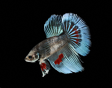 Siamese fighting fish (Betta splendens) 'Tri Band' male