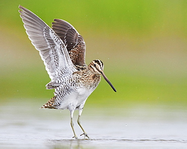 Common Snipe (Gallinago gallinago), adult taking off from the water, Campania, Italy