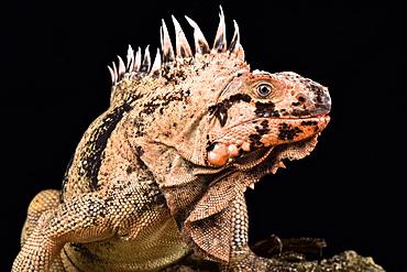 Grenadines pink iguana (Iguana iguana insularis)