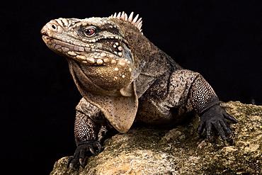 Cuban rock iguana (Cyclura nubila nubila)