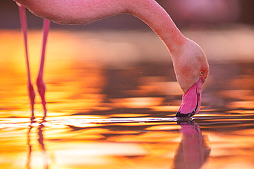 Great Flamingo (Phoenicopterus roseus) in water Camargue, France