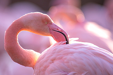 Great Flamingo (Phoenicopterus roseus) portrait, Camargue, France