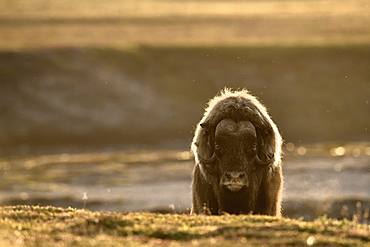 Muskox (Ovibos moschatus) solitary male, Jameson Land, Northeast Greenland