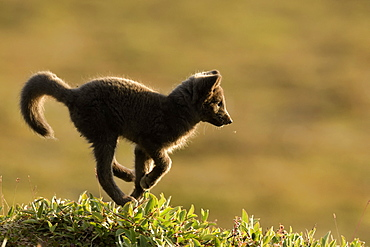 Young Arctic Fox (Alopex Lagopus) running in tundra, Jameson Land, Northeast Greenland