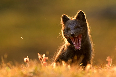Young Arctic Fox (Alopex Lagopus) yawning in tundra, Jameson Land, Northeast Greenland