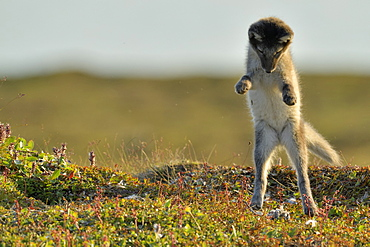 Young Arctic Fox (Alopex Lagopus) playing in tundra, Jameson Land, Northeast Greenland