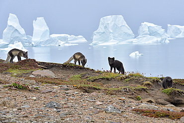 Arctic Foxes (Alopex Lagopus) family in the tundra, at the bottom the Scoresbysund, Jameson land, North East Greenland