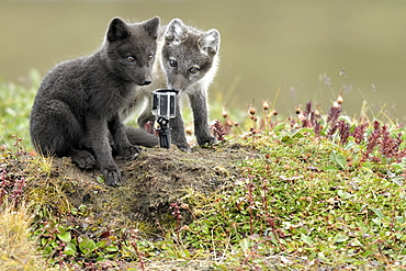 Young Arctic Foxes (Alopex Lagopus) in front of a gopro in front of the burrow, Jameson Land, Northeast Greenland