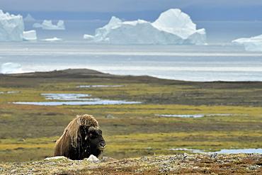 Muskox (Ovibos moschatus) solitary male in the tundra, bottom Scoresbysund, Jameson Land, Northeast Greenland