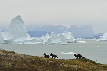 Young Arctic Foxes (Alopex Lagopus) in the tundra, at the bottom the Scoresbysund, Jameson land, North East Greenland