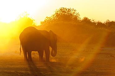 African Elephant (Loxodonta africana), Chobe National Park, Botswana.