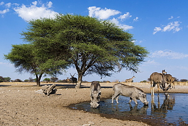 Remote camera image of greater kudus (Tragelaphus strepsiceros) and warthogs (Phacochoerus africanus) at a waterhole, Kalahari, Botswana