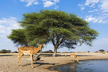 Remote camera image of impalas (Aepyceros melampus) drinking at waterhole, Kalahari, Botswana