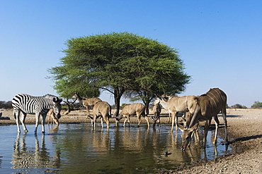 A remote camera image of greater kudu females (Tragelaphus strepsiceros), and Burchell's zebra (Equus burchellii) at waterhole, Kalahari, Botswana