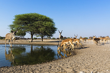 Remote camera image of greater kudus (Tragelaphus strepsiceros) and Impalas (Aepyceros melampus) at waterhole, Kalahari, Botswana