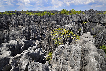 Landscape of tropical karstic phenomena in the Tsingy national park of Bemaraha, Small Tsingy area, UNESCO World Heritage site, Early November: end of dry season, Madagascar