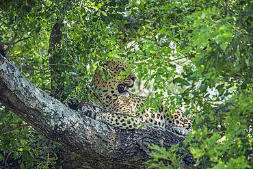 Leopard (Panthera pardus) lying down in a tree in Kruger National park, South Africa
