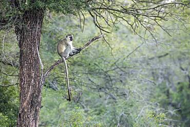 Vervet monkey (Chlorocebus pygerythrus) sitting on a branch in Kruger National park, South Africa