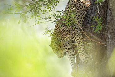 Leopard (Panthera pardus) jumping down a tree in Kruger National park, South Africa