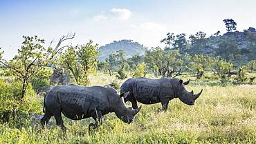 Two Southern white rhinoceros (Ceratotherium simum simum) in green scenery in Kruger National park, South Africa