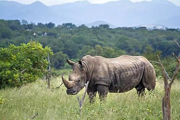Southern white rhinoceros (Ceratotherium simum simum) in green savannah in Kruger National park, South Africa