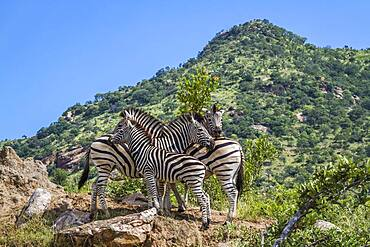 Small group Plains zebras (Equus quagga burchellii) in green mountain scenery in Kruger National park, South Africa