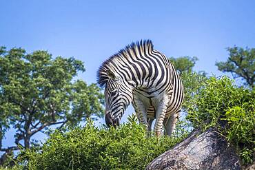 Plains zebra (Equus quagga burchellii) standing on a rock isolated in blue sky in Kruger National park, South Africa