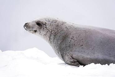 Crabeater seal (Lobodon carcinophaga) on the ice, Wilhelmina Bay, Antarctica.