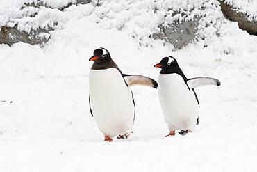 A gentoo penguin pair, (Pygoscelis papua), walking, Petermann Island, Antarctica.
