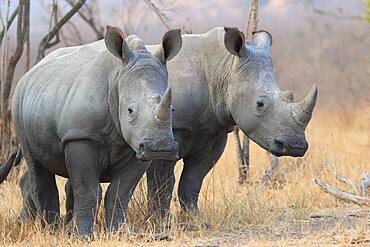 White Rhinoceros (Ceratotherium simum), Kruger National Park, South Africa