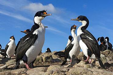 A colony of Imperial shags, Leucocarbo atriceps. Pebble Island, Falkland Islands