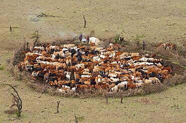 Masai Man watching cattle, Masai Mara, Kenya.
