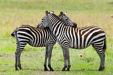 Common Zebra (Equus quagga), Masai Mara, Kenya