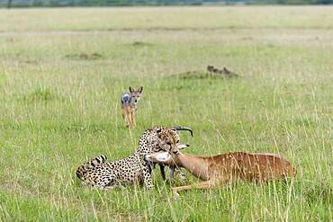 Cheetah (Acynonix jubatus) with Impala kill, Masai Mara, Kenya