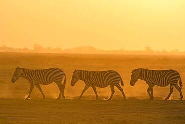 Common zebras (Equus quagga), Amboseli National Park, Kenya.
