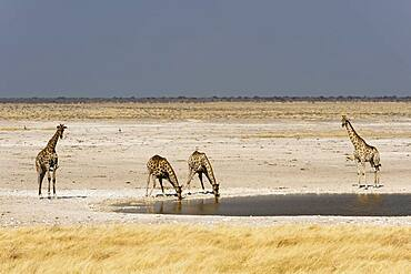 Giraffe (Giraffa camelopardalis), Etosha National Park, Namibia.