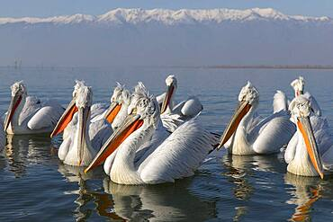 Dalmatian Pelicans (Pelecanus crispus) on water, Lake Kerkini, Greece.