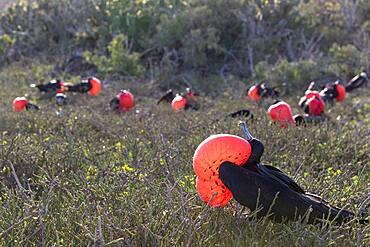 Great frigatebird (Fregata minor) males displaying, Isla Genovesa, Galapagos Islands
